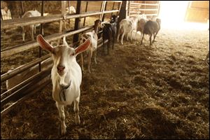 Goats used to make cheese at the Turkeyfoot Creek Creamery in Wauseon, Ohio, wander around the company's barn.