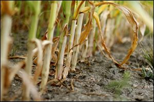 The dry, hot summer has taken a heavy toll on corn in a field along North Fostoria Road near Woodville, Ohio.