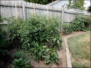 Vegetable garden that features tomato plants and cucumbers.