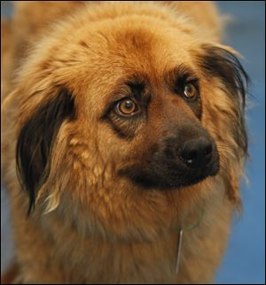 Cleo, a female retriever, Pound #1063, is available for adoption at the Lucas County Dog Pound in Toledo, Ohio.