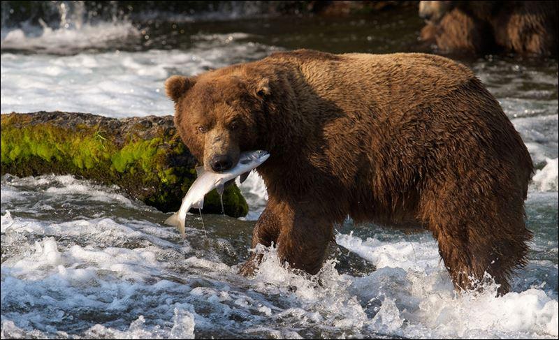 New Web Stream Brings Alaska S Katmai Bears To Computers