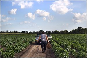 Norman Keil heads back to his truck after harvesting peppers on his family's farm in Sylvania.