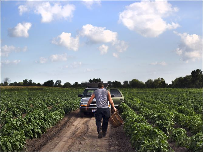 keil peppers Norman Keil heads back to his truck after harvesting peppers on his family's farm in Sylvania.