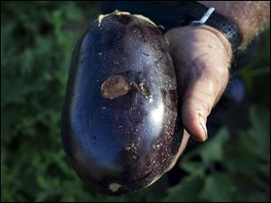 Mr. Keil holds an eggplant that has been scorched by the sun.
