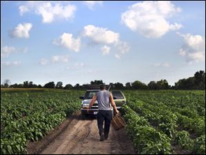 Norman Keil heads back to his truck after harvesting peppers on his family's farm in Sylvania Township. Though Keil has lost a portion of his crops this year to drought, as a small-scale farmer with a large diversity of plantings, he's been able to avoid the worst of the drought's effects.