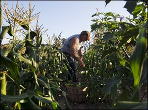 Mr. Keil harvests sweet corn on his family's property in Sylvania Township. He is the third generation to work the family farm. His son, John, works with him as well on the 80-acre farm.