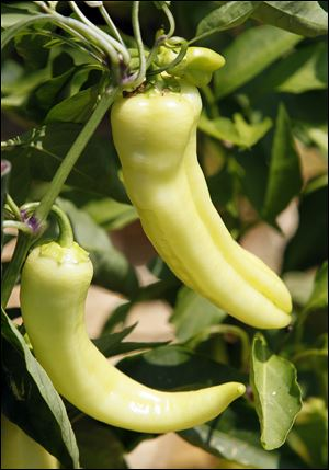 The Harts' banana peppers.