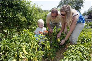Sawyer, 2, picks a pepper with his parents, Robert and Stephanie.