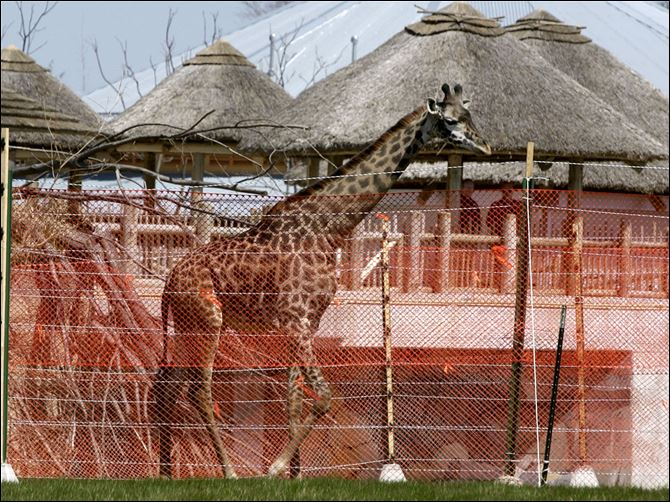 Giraffe mowgli Mowgli, the giraffe that was euthanized Thursday, was part of the Toledo Zoo's African exhibit.