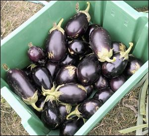Freshly picked eggplants sit in a container at the University of Illinois Sustainable Student Farm in Urbana, Ill.