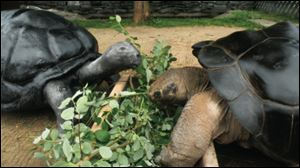 Poldi and Bibi, two rare giant Galapagas tortoises, enjoyed a full marital relationship. Then, in November, it all changed, when Bibi hissed at Poldi and took a bite out of his shell. they have been estranged since.