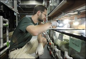 Tim Herman checks on some salamanders at the Toledo Zoo, which has one of the largest collections of the amphibians in the world.