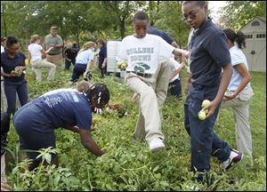 Sixth grade students at Grove Patterson Academy in Toledo, including Dymetria Mitchell, 11, left, Miles White, 11, center, and Eric Browning, 12, right, pick tomatoes during the school's annual garden celebration.