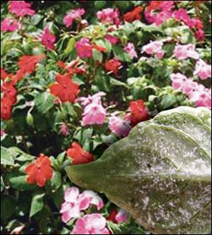 A pathogen has been affecting impatiens, above. Downey Mildew turns the leaf white, inset.