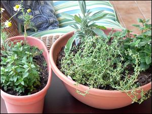 A medicinal indoor herb garden for healthful herbs throughout the winter months, from left, chocolate peppermint, and chamomile, and right, French thyme, sage, and lemon balm in Arvada, C.O.
