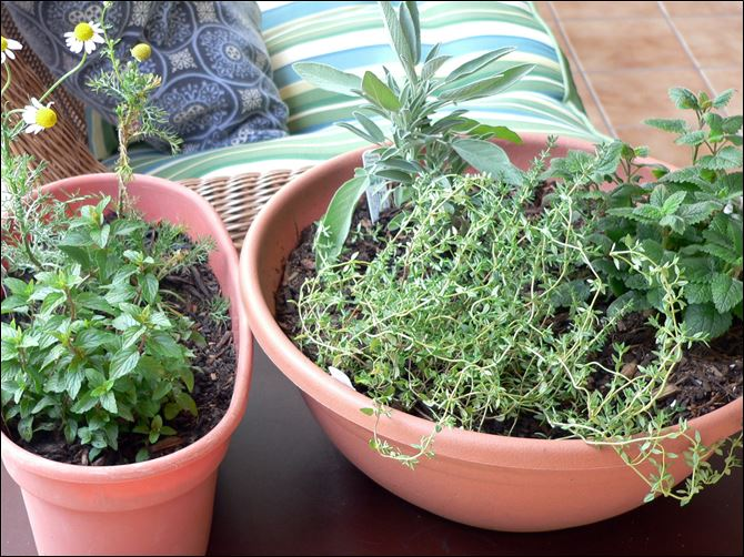 A medicinal indoor herb garden for healthful herbs A medicinal indoor herb garden for healthful herbs throughout the winter months, from left, chocolate peppermint, and chamomile, and right, French thyme, sage, and lemon balm in Arvada, C.O.