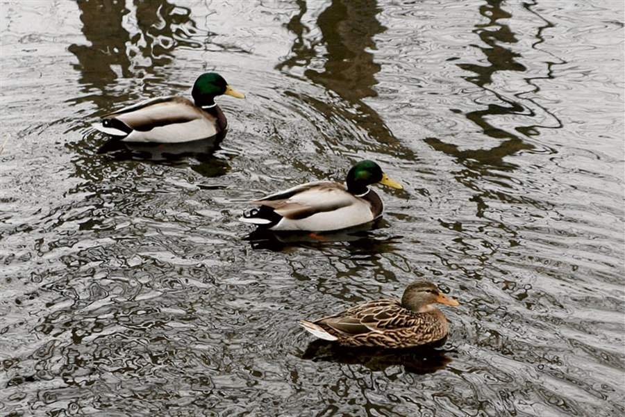 Ducks-at-Toledo-Botanical-Garden