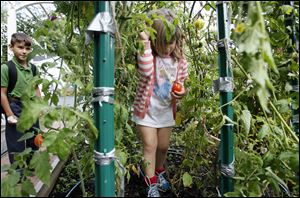 Irelynd McAllister, 4, picks a tomato from her grandfather's backyard garden.
