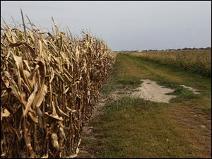 Pratt estimated the field of corn adjacent to one of his soy fields would be ready for harvest in a week or two.