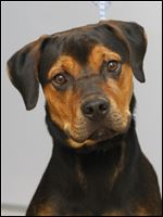 'Zeus,' male Rottweiler mix, pound # 1235