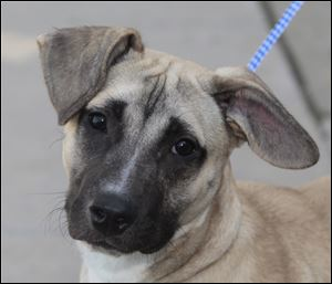 Buddy, a male Shepherd mix, pound # 1180.