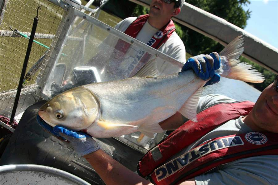 Travis-Schepker-a-biology-intern-holding-an-Asian-carp