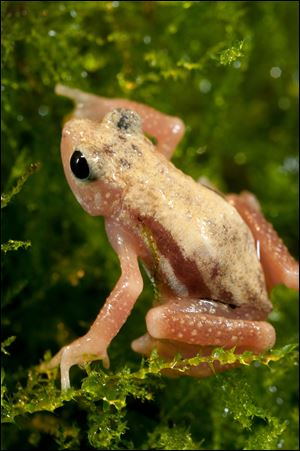 The Kihansi spray toad, a native of Tanzania.
