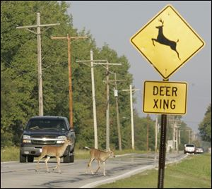 Deer cross the path of a stopped car on Cedar Point Road in Oregon after emerging from Maumee Bay State Park. More car-deer crashes occur in November than in any other month of the year.