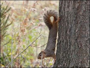 A squirrel is alerted to the group of humans learning how to make a squirrel's nest at the WW Knight Nature Preserve.