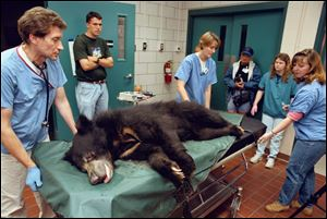 Toledo Zoo veterinarian Tim Reichard, left, pushes a sloth bear on a gurney after an exam in 1997. Vet technician Kari Wildeboer, center, and veterinarian Wynona Shellebarger help.