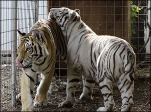 """Noah,"" left, and ""Layla"" prowl their enclosure at Stump Hill Farm in Massillon, Ohio. Under a new Ohio law, owners of  exotic animals must obtain a state-issued permit by Jan. 1, 2014."