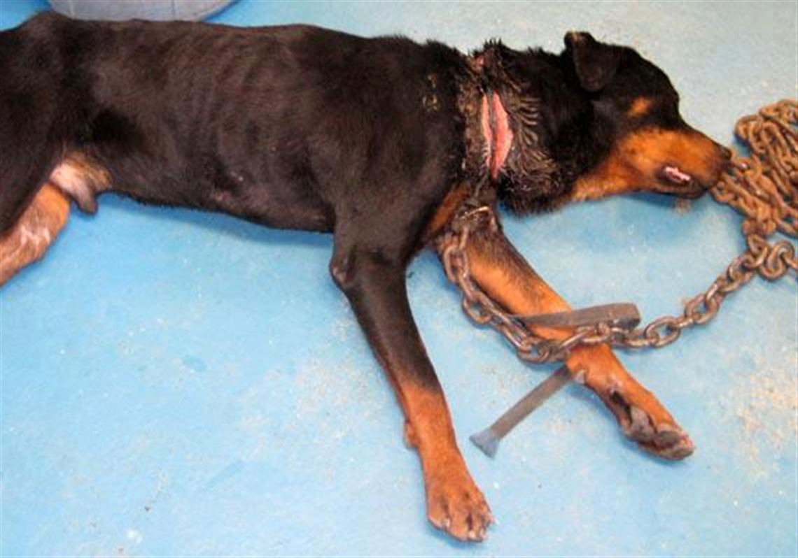 Rescue Groups Give Abused Rottweiler A New Leash On Life Toledo Blade