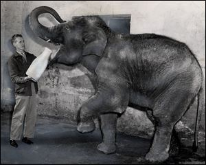 Amber prepares to gulp down a large jug of milk from zookeeper Dan Danford in June, 1955. The elephant was donated as a baby to the zoo by The Blade as a symbol for a school safety contest. The name, chosen in a citywide contest, stood for the amber caution signal on traffic lights.
