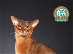 Aby the Abyssinian Cat