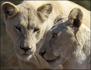 The lions that roam Africa's savannahs have lost as much as 75 percent of their habitat in the last 50 years.