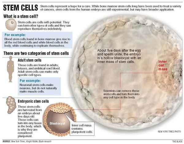 Stem Cells Breeding Super Sized Hope Large Scale Concern