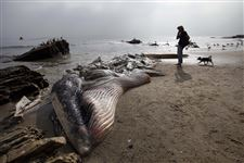 A-woman-walks-her-dog-past-a-dead-young-male-fin-whale