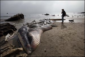 A woman walks her dog past a dead young male fin whale that washed up Monday between the Paradise Cove and Point Dume areas of Malibu, Calif. on Thursday.