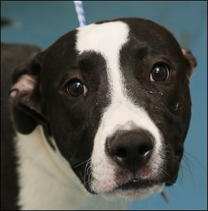 Jett is a male pitbull. Pound No. 6485; Jett.