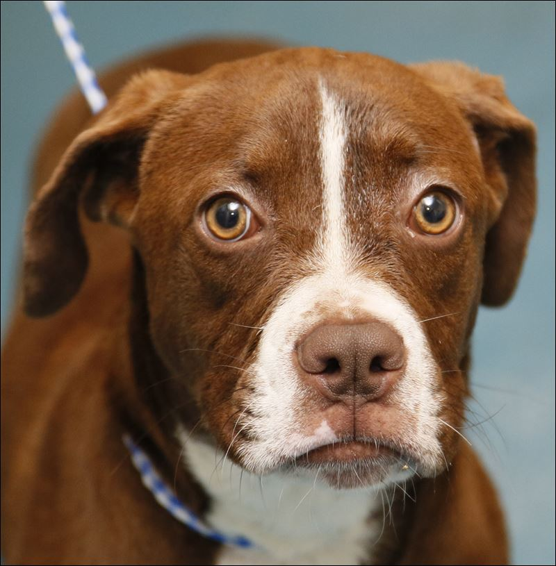 Photos Of Boxer And Labrador Mix Dogs | Dog Breeds Picture