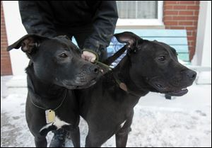 Speedy, left, a 'pit bull' mix who prefers the company of people over  dogs, and Taylor, a boxer and Labrador mix who likes to play with toys and other dogs, are  available for adoption Saturday.