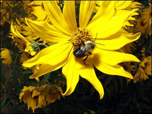 A bumblebee collects pollen on a sunflower at Olander Park in Sylvania, Tuesday, September 18, 2012.