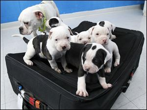 A litter of six puppies was found zipped in a suitcase left with their mother near a trash bin in March. The Toledo Area Humane Society received more than 100 applications to adopt the pups.