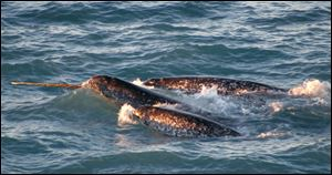 Narwhals are known as the unicorns of the sea for their spiral, ivory tusks that can grow longer than 8 feet. The tusks can sell for thousands of dollars each, but it's illegal to import them into the U.S.