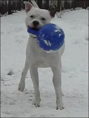 Bones, a dogo argentino sent to a Toledo dog trainer to work out aggression issues, was the only dog taken from the kennel.