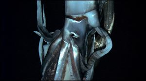 In this television image made from video recorded in the summer of 2012 provided by NHK and Discovery Channel, a giant squid swims in the deep sea off Chichi island, Japan.