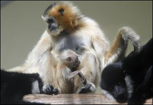 A gibbon is held by its mother, Hue, during its first day of public display at the Toledo Zoo. The young gibbon has not yet been named because its sex has not been determined.  At left is Quon, the young gibbon's brother. The father, Batu, is at right.