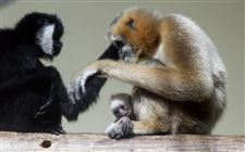 New-gibbon-baby-Toledo-Zoo