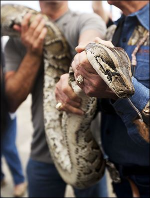 A captured 13-foot-long Burmese python is displayed for hunters before starting the Python Challenge.
