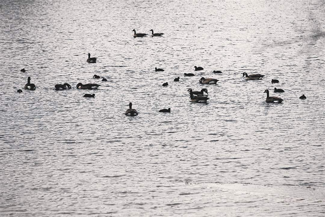Canada-Geese-Mallards-and-Pied-Billed-Grebes